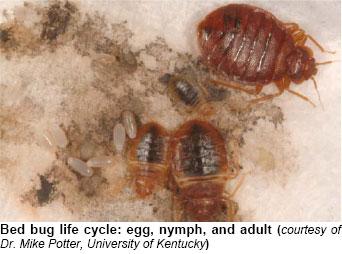 Bed Bug Cycle